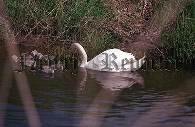 R011908 6_c Swan