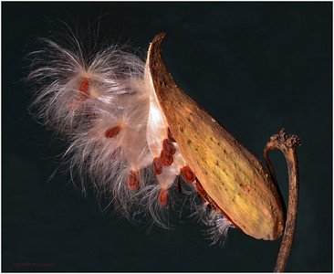 DIGITAL COLOR-UNASSIGNED-SILVER-MILKWEED POD-ANN JACQUES