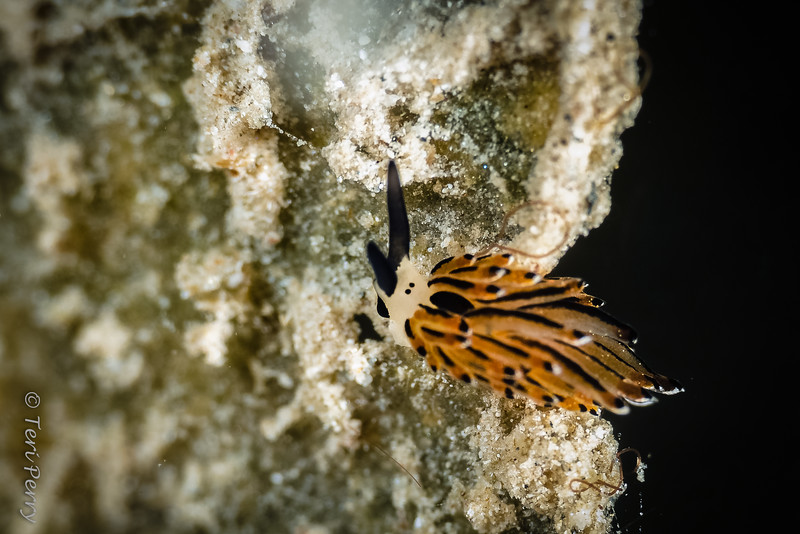 NUDIBRANCH - costaciella-4527-Edit-Edit.jpg