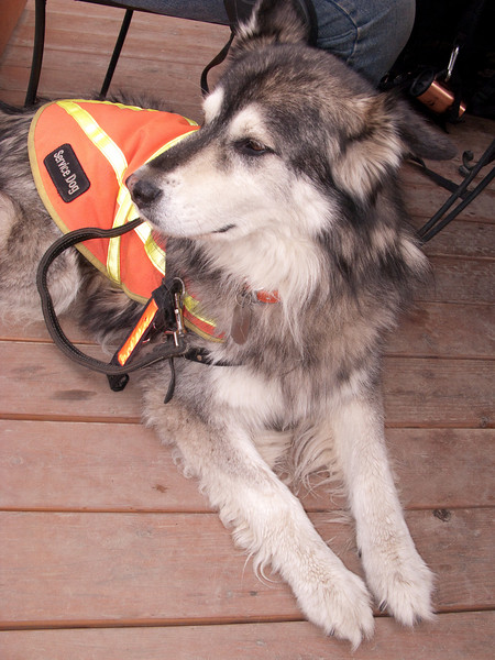 IMG_2482-1<br /> We met Comanche in Talkeetna.  He's a guide dog for a blind ex-military man who was a POW for 22 years in Vietnam.  Comanche is a Timberwolf!  Can't say that I've ever met a Timberwolf service dog before.