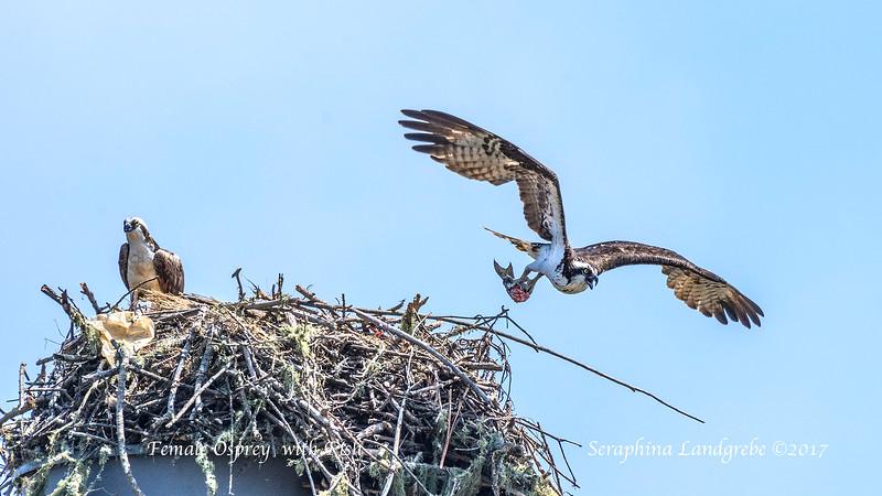 _DSC7973Female leaves nest.jpg