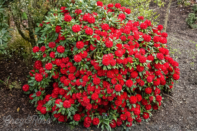 Red Rhododendron Bush