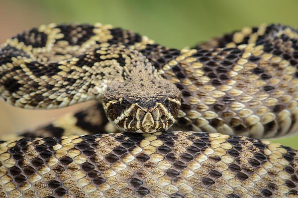 Reptiles - USA