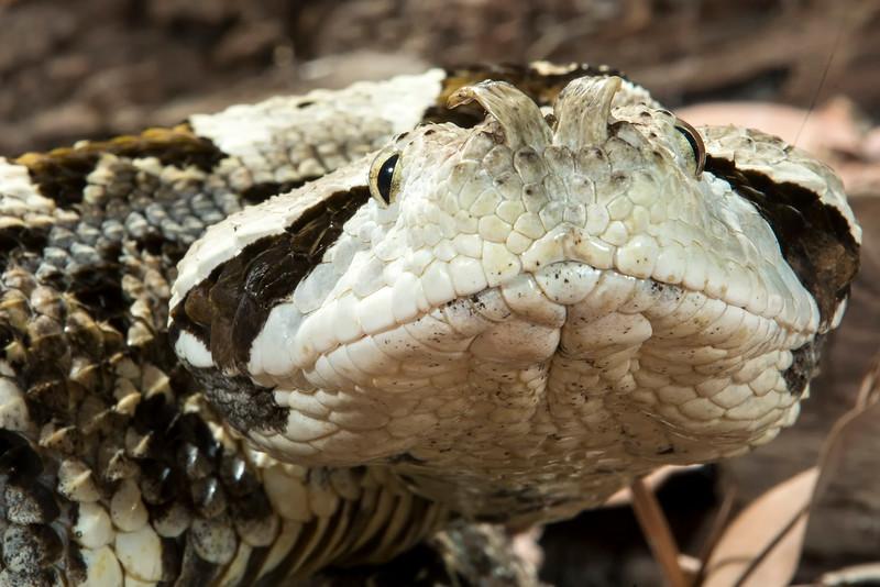 Gaboon Viper, Bitis gabonia
