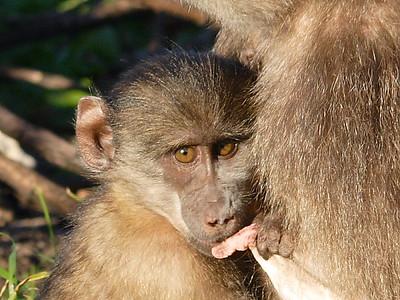 Baboon Matters