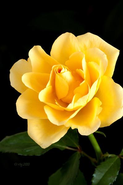 Flower_Rose_Yellow_1000w.jpg