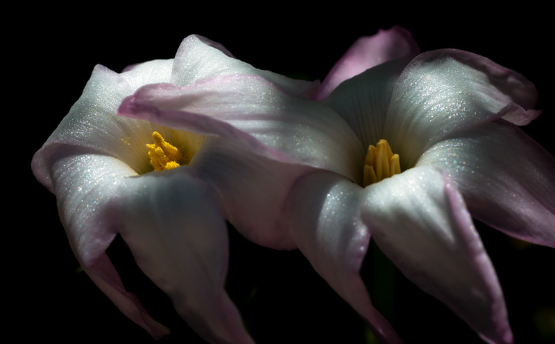 rain lily DSC_8850-Edit-1-3.jpg
