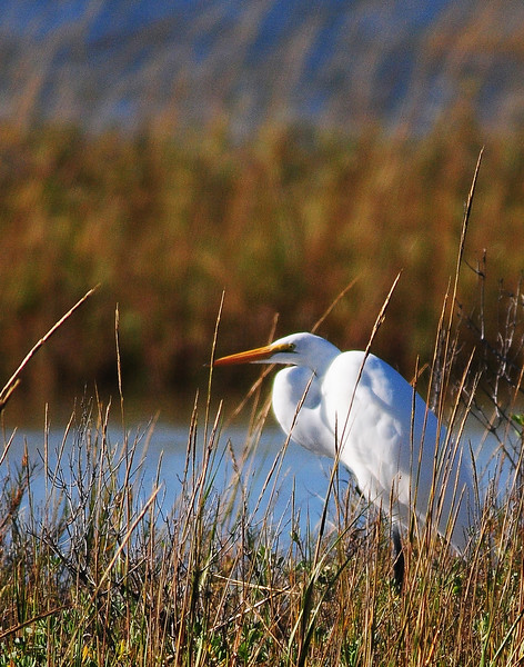 Egret in Marsh.jpg