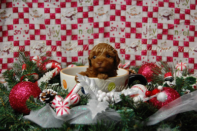 2012 MaltiPoo SOLD  Photos and Videos