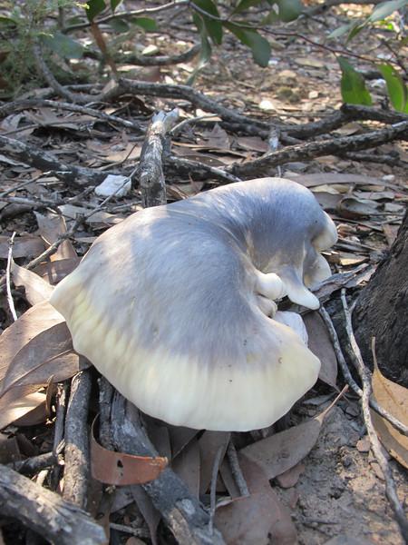 Pleurotus nidiformis.JPG