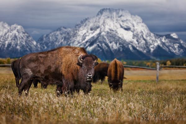 Mt Moran Bison