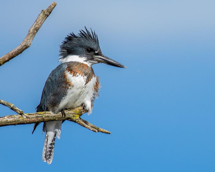 Kingfisher-3888.jpg