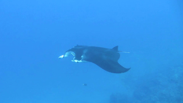 Manta - Diver Julie - 2-Oct-2012