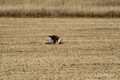 Bald Eagle's Lunch