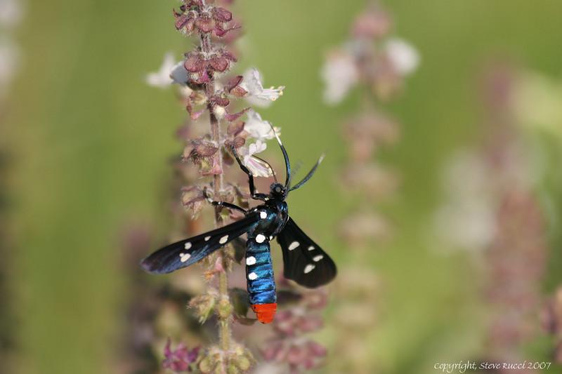 Oleander Moth (Syntomeida epilias)