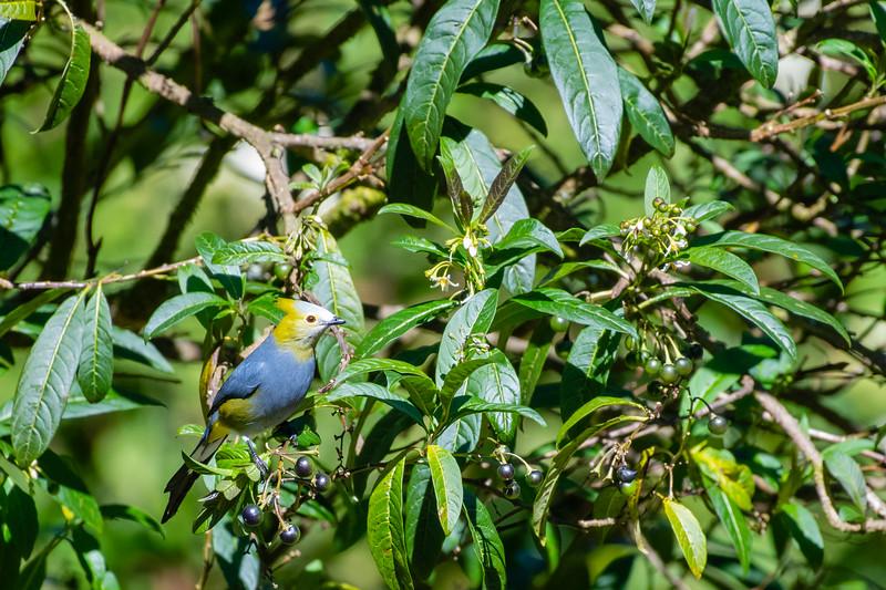 Long-tailed Silky-Flycatcher - San Jose, Costa Rica