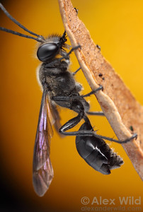 This Isodontia mexicana wasp has been stylopized by Paraxenos parasites in the enigmatic order Strepsiptera, evident as bulges emerging between the abdominal segments.  Illinois, USA