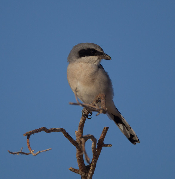 Loggerhead Shrike Kramer Junction 201709 16-1.CR2-1.CR2