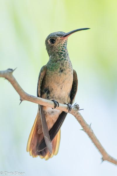 Buff-bellied Hummingbird at Frontera Audubon Center , TX (07-25-2015) 080-6.jpg