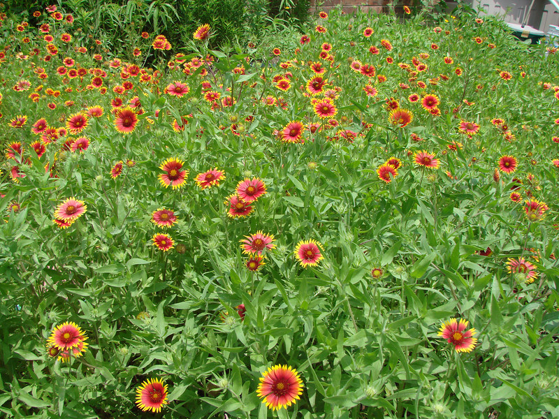 This photo was added after the Indian Blankets (aka Firewheels) came into fuller bloom on May 13, 2009.