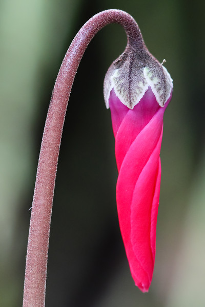 Persian Violet.jpg