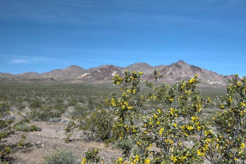 Creosote bush in flower at Death Valley National Park
