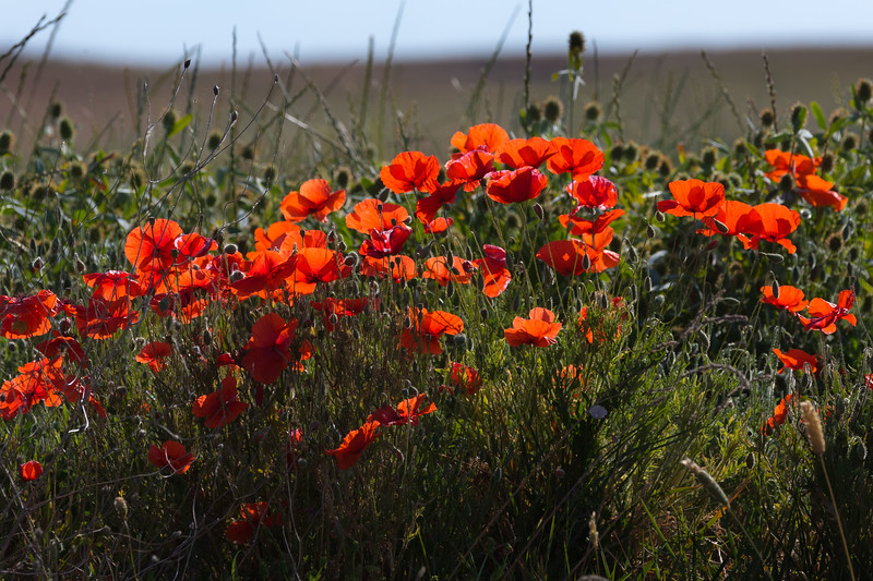 Roadside Poppies-7803.jpg