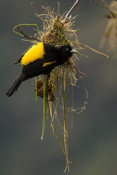 Northern Mountain Cacique - Papallacta, Ecuador