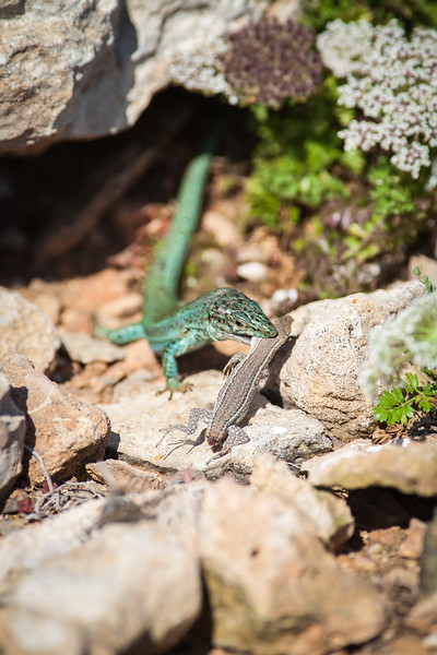 Ibiza wall lizard cannibalism