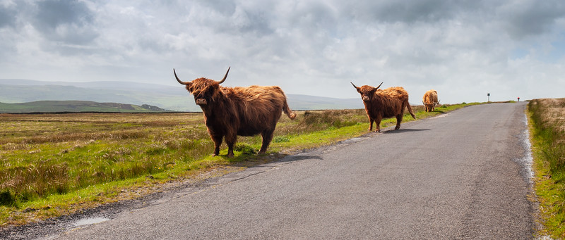 Highland cattle in the Yorkshire Dales