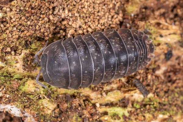 Genus Spherillo