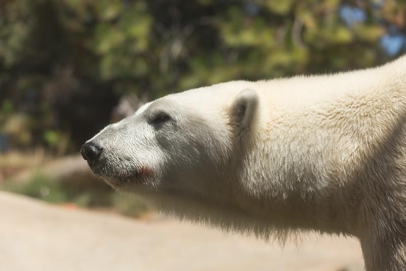 polar bear (35 of 50).jpg