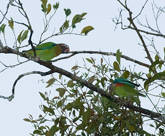 Brownhooded Parrot
