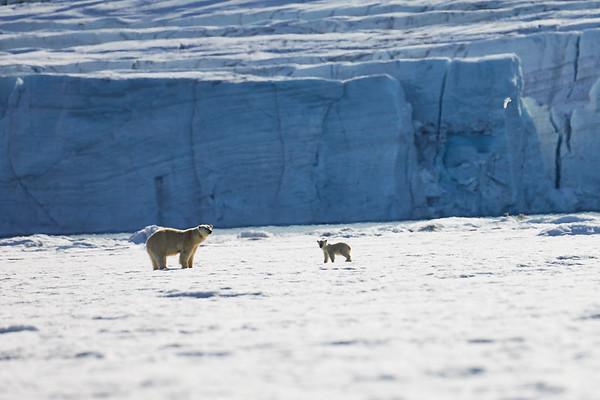 Male Female and Cub Polar Bear Svalbard Norway 2018