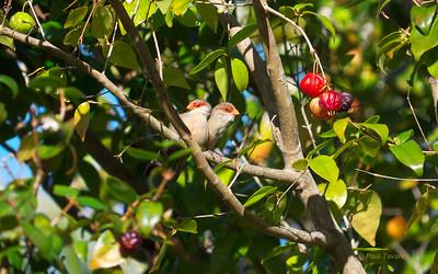 Old World Sparrows to Waxbills