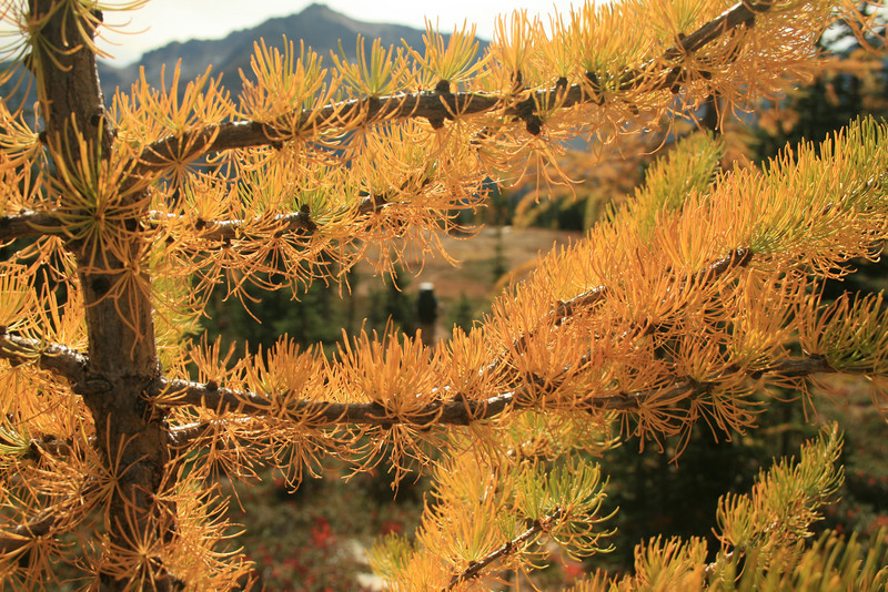 Hiker and up close larch needles.