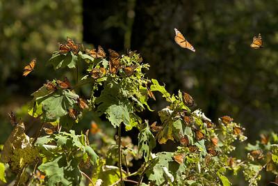 Mariposa Monarch (Monarch Butterfly Sanctuary)