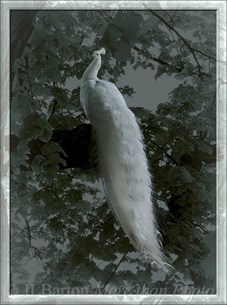 Snowy Peacock Found at Schlosshof, Austria