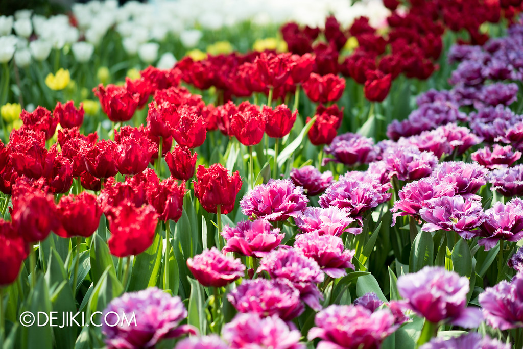 Gardens by the Bay - Tulipmania Rediscovered 2016 - Red and Purple