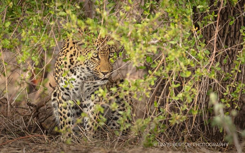 Sabi-youngLeopard_3633cc2fx-web.jpg