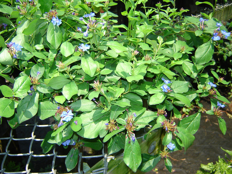 "Ceratostigma plumbaginoides  Exposure: Sun - Part Shade; Bloom Color: Blue; Bloom Time: Summer - Fall; Mature Height: 12"""