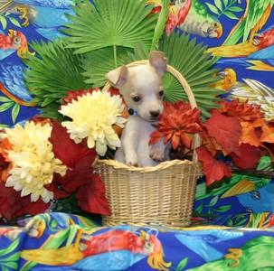 2005 Chihuahuas Sold