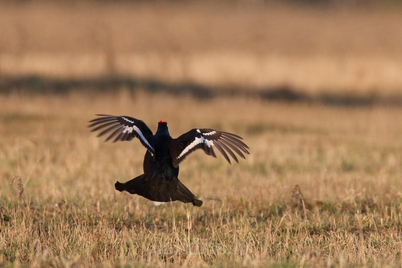 Black Grouse (male) in flight from behind / Rubeņu gailis riestā lidojumā