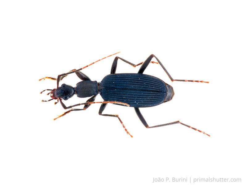 Predatory darkling beetle (Carabidae) Sorocaba, São Paulo, Brazil Urban October 2017
