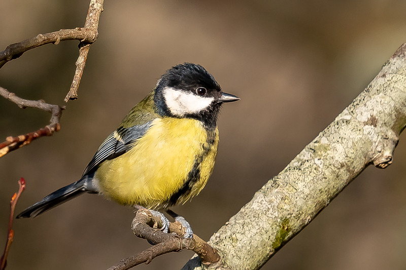 Great Tit - Scientific name: Parus major, on Ditchling Common