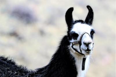 Llama Mama (Kris)