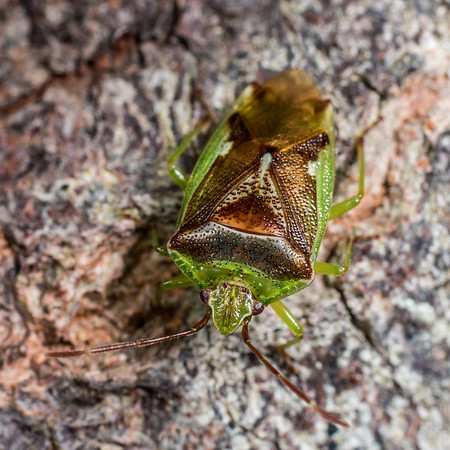 Oncacontias vittatus - Forest shield bug