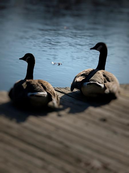 geese couple.jpg