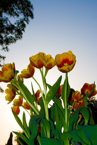 Tulips outdoor_29.jpg