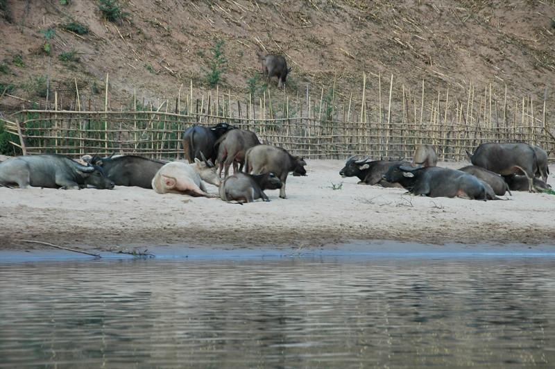 Water Buffaloes at the Riverside - Nong Khiaw, Laos